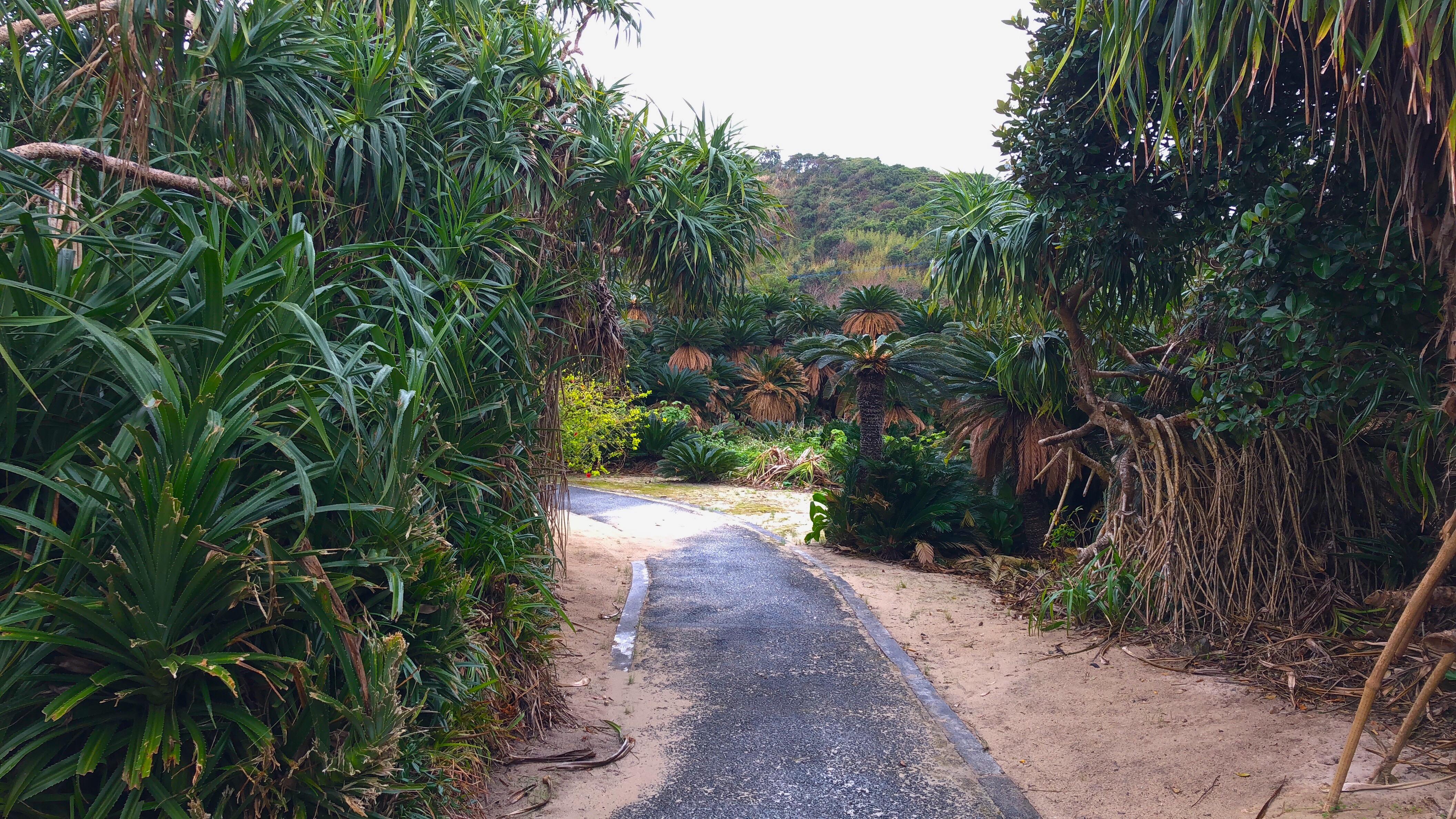奄美大島あやまる岬のソテツジャングル